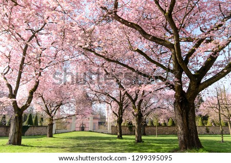 Amazing bright colorful spring landscape for wallpaper. Majestically blossoming large cherry sakura trees in a wonderful landscape garden on a green lawn, pastel colors with dreamy feel  #1299395095