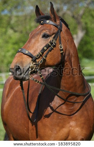 Amazing brown horse with beautiful bridle looking at you #183895820