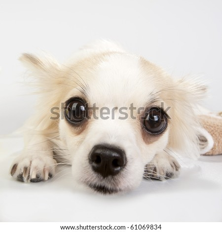 amazing chihuahua eyes very close - stock photo