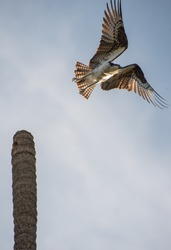 Amazing Close up Photograph of a Mexican Hawk taking off at the top of a tall palm tree trunk