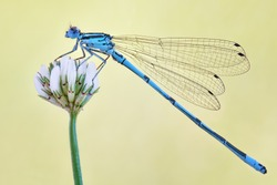 Amazing closeup of polish azure damselfly (Coenagrion puella) resting on the flower in the natural environment. Natural sunrise light morning macro