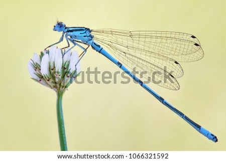 Amazing closeup of polish azure damselfly (Coenagrion puella) resting on the flower in the natural environment. Natural sunrise light morning macro #1066321592