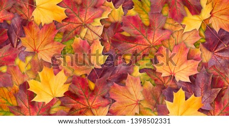 Amazing colorful background of autumn maple tree leaves background close up. Multicolor maple leaves autumn background. High quality resolution picture