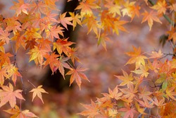Amazing colorful background of autumn maple tree leaves background with white empty space.