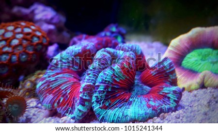 Amazing colorful open brain coral  #1015241344