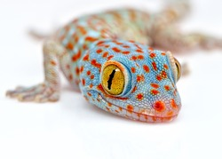 Amazing colorful Tokay gecko macro on white background