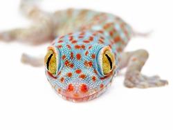 Amazing colorful Toke/Tokay gecko macro closeup on white background. Study photo of wild gecko