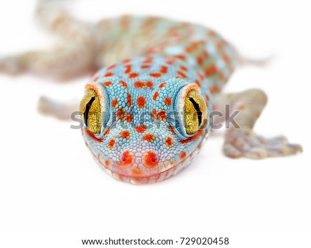 Amazing colorful Toke/Tokay gecko macro closeup on white background. Study photo of wild gecko