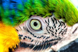 Amazing colors in nature. Beautiful eye wild parrot bird Great-Green Macaw close-up on nature background