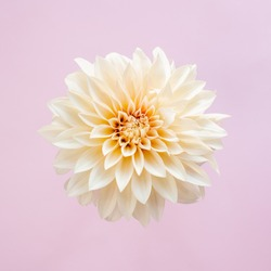 Amazing cream Dahlia flower on a pink pastel background. Place for text.  Flat lay. Close-up.