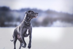 Amazing cute blue great dane