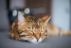 Amazing cute fluffy bengal cat sleeping on the sofa