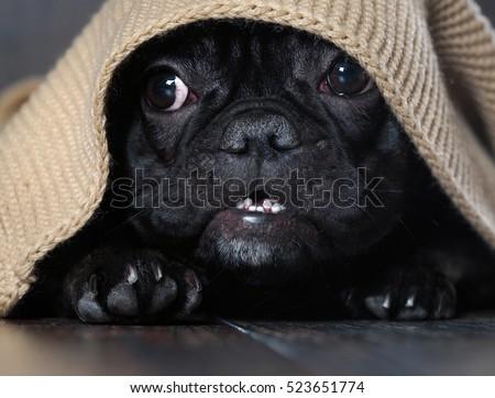 Amazing dog face with round eyes peeking out from under the rug. Dog black French bulldog