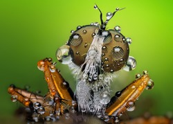 Amazing extreme sharp and detailed macro closeup of robber fly