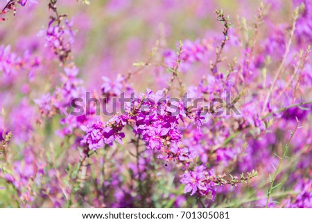 Amazing floral background of Lytrum Salicaria flowers.  Perfect image for Purple Loosestrife, autumnal background, autumn flowers etc. #701305081