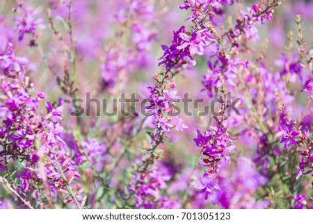 Amazing floral background of Lytrum Salicaria flowers.  Perfect image for Purple Loosestrife, autumnal background, autumn flowers etc. #701305123