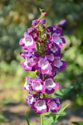 Amazing flowering plant Penstemon 'Pensham Czar' (Penstemon, family: Plantaginaceae) with large purple bell-shaped, foxglove-like blooms flowers and pure white throats