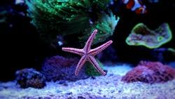 Amazing Fromia Elegans Starfish