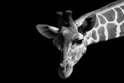 Amazing Giraffe Black And White Face