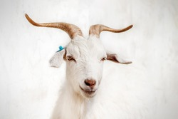 Amazing goat in the ZOO