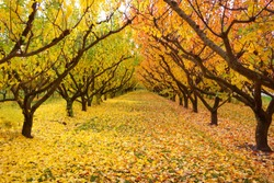 Amazing gorgeous yellow orange apple trees orchard changing color leaves during autumn season falling old leaves on green grass ground symmetry row of tree making breathtaking view in Otago Cromwell