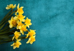 Amazing grunge background with Yellow flowers daffodils on turquoise texture. Beautiful Colorful Greeting Card for Mothers Day, Birthday, March 8. Top view, Flat lay. Horizontal Image With Copy Space