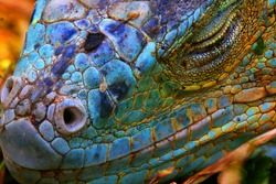 Amazing Iguana specimen displaying a beautiful blue colorization of the scales - 2