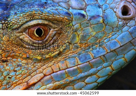 Amazing Iguana specimen displaying a beautiful blue colorization of the scales
