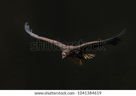 Amazing in flight shot of single sea eagle on black background. Gorgeous and majestic animal! Cute yet cruel predator and hunter. - Shutterstock ID 1041384619