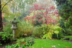 Amazing japanese maple with red leaves ( also in spring and summer) . Awe foggy day at autumn in Japanese garden in Leverkusen