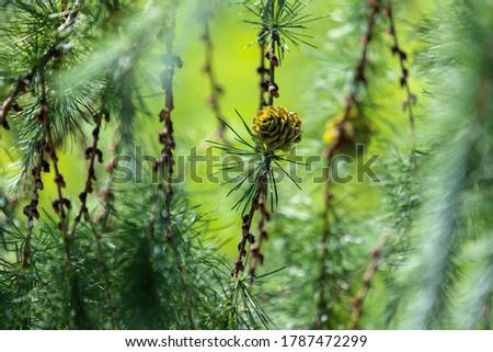 Amazing larch in sunbeams in Botanicl garden of Prague ( Czech Republic).    Awe summer in Europe! Foto stock ©
