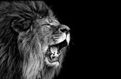 Amazing Lion Roaring Black Face