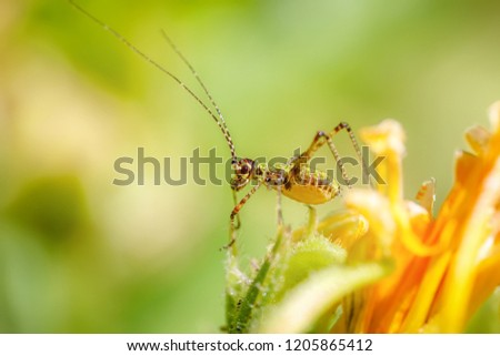 Amazing macro of a small colorful grasshopper on a yellow flower. Close up