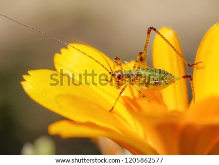 Amazing macro of a small green grasshopper on a yellow flower. Close up