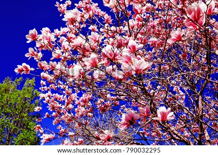 Amazing magnolia tree. Pink magnolias in spring day. Beautiful pink magnolias on blue sky background. Blooming Magnolia flowers and stunning buds in spring season. Warmest colors of magnolia flowers.
