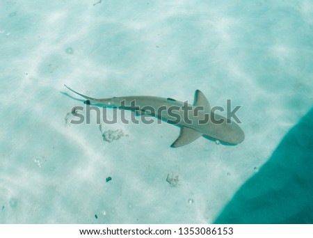 Stock Photo Amazing Maldives black tip shark. Maldives are the places to see beautiful marine animals like sharks, turtles, rays and colorful fishes. Enjoy this beautiful shark!