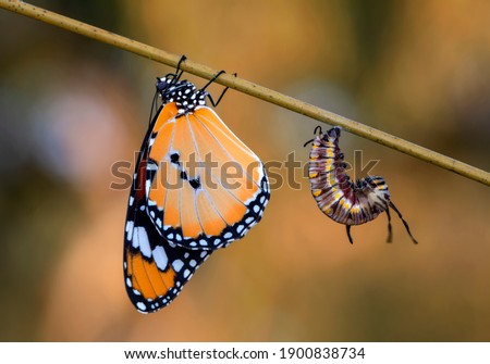 Amazing moment ,Monarch Butterfly , caterpillar, pupa and emerging with clipping path. ストックフォト ©