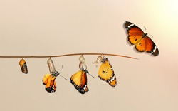 Amazing moment ,Monarch Butterfly, pupae and cocoons are suspended. Concept transformation of Butterfly