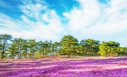 Amazing morning landscape of Dalat, Vietnam with pine forests, pink glass hills in the highlands. In spring the grass flowering and change the color to pink. Travel and landscape concept.