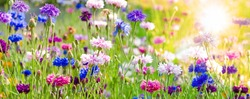 Amazing natural landscape and  beautiful spring background with a group of blooming purple,  pink, lila and white cornflowers on a meadow under the bright sun in spring time. Germany in Europe.