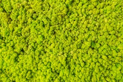 Amazing natural texture of reindeer moss. Decoration made of lichen Cladonia rangiferina. Green moss of art background. Picture from natural material. Fresh and green organic texture. Beauty of earth.