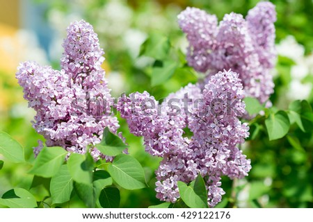 Amazing natural view of bright lilac flowers in garden at sunny spring day with green leaves as a background..  #429122176