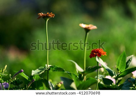 Amazing nature landscape of zinnia flowers in garden under sunlight.  #412070698