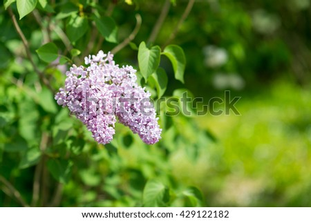 Amazing nature of lilac under sunlight at the middle of summer or spring day  landscape.  Natural view of flower blooming in the garden with green grass as a  background.