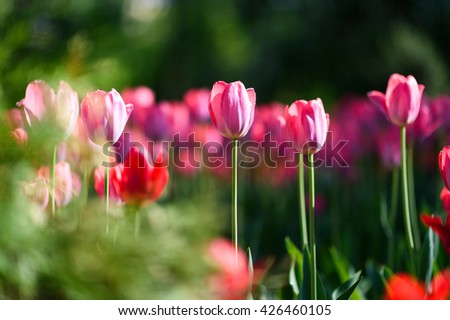 Amazing nature of pink tulip flowers and sunlight summer garden landscape.  Natural tulip flower background. Garden tulips and nature. Natural pink tulips. Nature flower life. Sunny flower nature