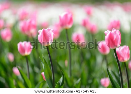 Amazing nature of pink tulips under sunlight at the middle of summer or spring day  landscape.  Natural view of flower blooming in the garden with green grass as a  background.
