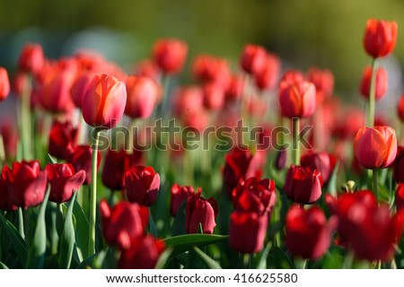Amazing nature of red tulips flowering under sunlight at the middle of summer or spring day landscape. Natural scenery of flower blooming in the garden with green grass as a  background.