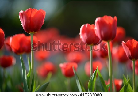 Amazing nature of red tulips under sunlight at the middle of summer or spring day  landscape.  Natural view of flower blooming in the garden with green grass as a  background.  #417233080