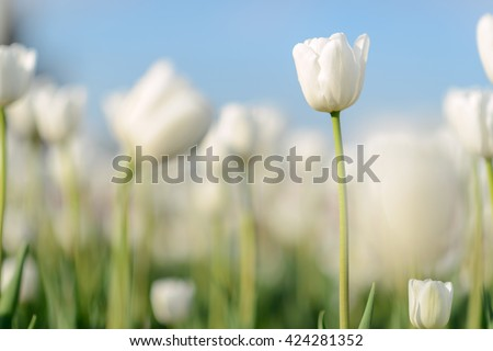 Amazing nature of white tulips flowering under sunlight at the middle of summer or spring day landscape. Natural scenery of flower blooming in the garden with green grass and sky as a background.  #424281352