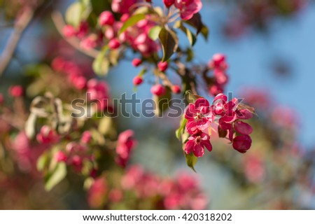 Amazing nature view of blooming apple tree in garden. Beautiful scenery of colorful red  flowers with green leaves at sunny summer or spring day. #420318202